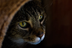 Hiding place (Rico the noob) Tags: dof bokeh published macro eye animal closeup d500 germany 105mmf28 animals 2016 cat 105mm indoor