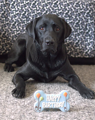 Happy 2nd Birthday, Dunkel (d2roberts) Tags: dog labrador birthday blacklab labradorretriever portrait