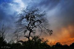 El Arbol Triste.  The Sad Tree . (frankolayag) Tags: naturaleza arboles frankolaya nikonflickraward nikond5300 paisajes colores arte venezuela valencia nubes vegetales contraluz cielo wow