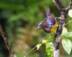 BTSUsepilok_P2000834 (ParadiseBirding) Tags: borneo sabah malaysia birding brownthroated sunbird sepilok