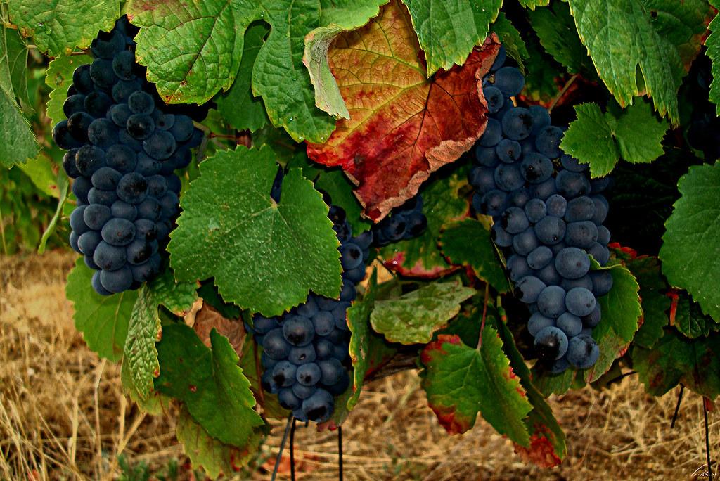 1600-uvas