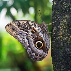 20151227_427c (novofotoo) Tags: augenfalter botanischergarten butterfly caligomemnon dickebanane edelfalter falter insekten lepidoptera münchen natur reise schmetterling tagfalter tiere animals botanicalgarden insects