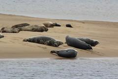 Seals on a Sandbank, Scotland. (Seckington Images) Tags: seals sandbank flickr wildlife