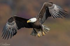 Look off (greg obierek) Tags: baldeagle haliaeetusleucocephalus eagle birdofprey raptor avian susquehannariver maryland harfordcounty nature wildlife birdinflight d500 nikkor600mmf4gvr