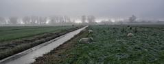 One rather cold, foggy morning (Jfbp) Tags: landschap landscape nederhorst den berg horstermeerpolder polder fog sheep weiland schapen mist outdoor