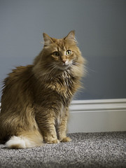 Mandy Monday: Sitting Pretty (Photo Amy) Tags: adorable aminal canon50d cat cuddly cute cuteness ef50mm18 eartufts feline fluffy fur furry ginger kitten longhair longhaired orange pet precious red tabby toefur whisker whiskers