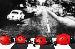 The Beetles (places_lost) Tags: macromondays beatlesbeetles black schwarz white weis red rot paper papier holz wood