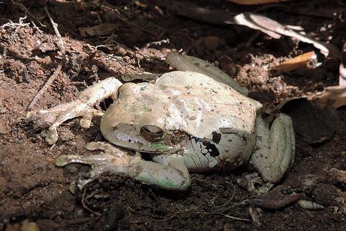 Ignacio - Muddy Mexican Tree Frog