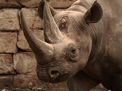 Black Rhinoceros (Standardwing) Tags: easternblackrhinoceros rhinocerotidae dicerosbicornismichaeli dicerosbicornis blackrhinoceros berlinzoo