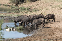 05-South_Africa-2016 (Beverly Houwing) Tags: africa krugerpark phalaborwha southafrica capebuffalo river water drink