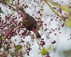 Female Blackbird (Karen bullock photography) Tags: blackbird bird tree turdusmerula