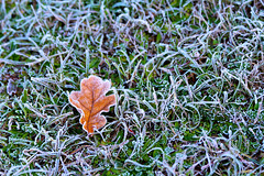(Alin B.) Tags: alinbrotea nature autumn fall toamna october november leaf fros frosty ice cold frozen