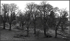 Oak Trees On A Solitary Acre... Without Design.. (Picture post.) Tags: landscape nature green oak trees monochrome winter paysage arbre interestingness