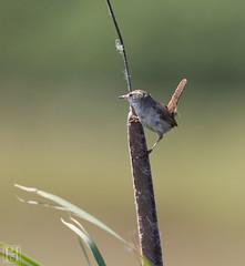 Marsh-Wren-0270 (SharonConstant) Tags: coyote bird hills marsh wren birdphotography sharonhowardconstant