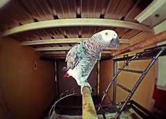 Archi at home (stereocallo) Tags: parrot loro yaco