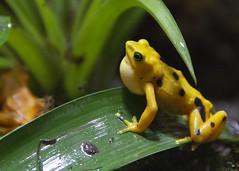poison dart frog at Dallas World Aquarium (BradleyA) Tags: world yellow canon aquarium dallas lowlight texas tx amphibian frog poison dart 60d