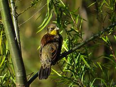 cuello amarillo (jlbravin) Tags: naturaleza santafe bird nature ro wildlife pesca isla pjaro coronda