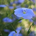 flax 3 w thumbnail