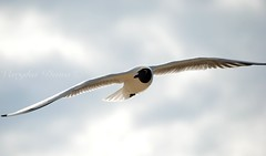 Black-headed Gull (varghaD) Tags: sea seagulls birds gull gulls baltic latvia riga jurmala