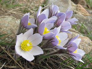 Photo - Pasque Flower