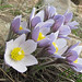Photo tagged with Pasqueflower