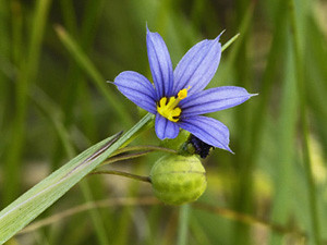 Photo - Blue-eyed grass