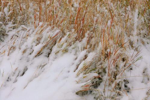 Photo - Autumn snowstorm crushes down tallgrass prairie grasses along Homestead trail.
