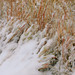 Autumn snowstorm crushes down tallgrass prairie grasses along Homestead trail.