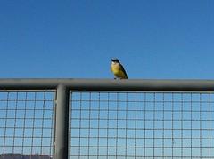 Bentivi (Thunder Castilho) Tags: bird passarinho bentivi