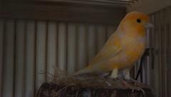 Kenari Bird (eryztar) Tags: bird burung kenari nex7 sonynex7 eryztar