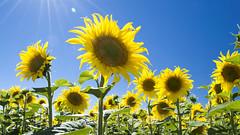 Día de verano (Koke Hernán) Tags: summer sky sun yellow spain day august sunflowers flare nikond3200 2013 villasabariego