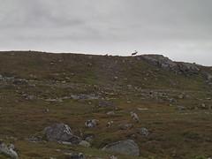 Reindeer (petrusko.rm) Tags: summer vacation mountain reindeer sweden jämtland 2013