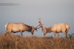 Sparring Elk (www.matthansenphotography.com) Tags: nature field animal fog sunrise mammal fight wildlife bull antlers elk spar dominance biggame rut bullelk matthansenphotography