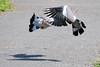 Wood Pigeons (Columba palumbus) Courtship Display (Steve Greaves) Tags: shadow summer male bird female flying inflight display pigeon dove llanelli common wwt culver courtship woodpigeon columbapalumbus commonwoodpigeon nikond300