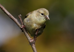 American Goldfinch (Diane Marshman) Tags: white black tree bird nature up birds yellow wings bars branch close body head pennsylvania wildlife goldfinch small birding feathers young pa american underneath immature juvenile dull juvie
