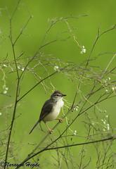 Plain Prinia (Nanimuroor) Tags: birds canon 1ds 28l plainprinia 200mm tghalli