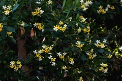 Hymenosporum flavum (andreas lambrianides) Tags: nsw qld australianflora australianflowers australiannativeplants pittosporaceae hymenosporumflavum nativefrangipani arfp australianrainforests australianrainforestplants nswrfp qrfp australianrainforestflowers arfflowers whitearfflowers yellowarfflowers