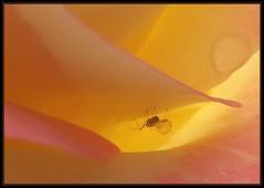 IMG_3343 Sub Rosa 6-4-13 (arkansas traveler) Tags: flowers rose peach insects bugs macros bichos aphid macrolicious bokehlicious naturewatcher