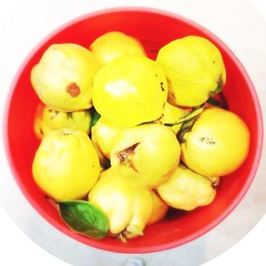 """Quince! #orange #yellow • <a style=""""font-size:0.8em;"""" href=""""https://www.flickr.com/photos/61640076@N04/10356778075/"""" target=""""_blank"""">View on Flickr</a>"""