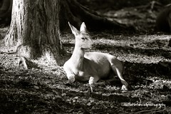 M26A3635 Sika Deer in the new Forest (funfoto1) Tags: blue trees monochrome forest square triangle wildlife deer level canon5d breathe audi preserve newforest vide tace shibboleth flickr10 flickriver canonuk sikkadeer funfoto1 cpeterhazellphotography flickr:user=funfoto1 artspartsandpoints