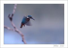 Pêche au petit jour (Fabien Serres) Tags: bird oiseau commonkingfisher alcedoatthis coraciiformes martinpêcheurdeurope alcédinidés