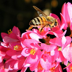 Find ecstasy in life! (bob in swamp) Tags: pink flower coral florida bees vine bee honey polygonaceae palmbeachcounty apis apismellifera antigononleptopus mexicancreeper queensjewels johndmacarthurbeachstatepark taxonomy:binomial=apismellifera munyonisland sanmiguelitovine