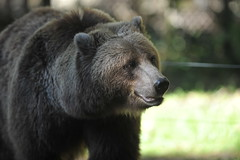 Bear Necessities (dnoseworth) Tags: wild portrait canada color colour art nature animal animals closeup digital canon fur outdoors amazing interesting dof natural bears 300mm northamerica digitalcamera wilderness predator creature mammals scavenger carnivore brownbear naturephotography grizzlybear 2013 preadator dnoseworth