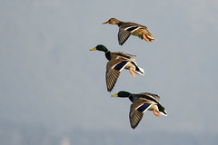 GERMANI IN PLANATA (d.carradori) Tags: italy beautiful natura uccelli firenze toscana atmosfera fotografo danilo fotografare germani acquatici eliteimages carradori