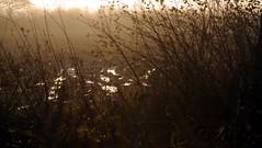 Nebelwelten, an einem November-Morgen in Brunsholm; Bergenhusen, Stapelholm (13) (Chironius) Tags: morning fog sunrise germany deutschland dawn nebel alba amanecer alemania dmmerung sonnenaufgang allemagne morgen niebla brouillard germania ochtend schleswigholstein matin gegenlicht  morgens zonsopgang mattina aube ogie pomie morgendmmerung morgengrauen niemcy dageraad  bergenhusen   stapelholm  pomienie szlezwigholsztyn
