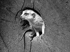 Meerkat, Singapore Zoo (B&W) (jonhuskisson) Tags: asia seasia southeastasia singapore singaporezoo zoo animal nature meerkat travel backpacking bw monochrome blackandwhite blackwhite world culture animals