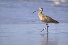 Long Billed Curlew (Jouko van der Kruijssen) Tags: california bird monterey moss wildlife montereybay olympus landing 50200mm zuiko e5 longbilledcurlew sfwildlife