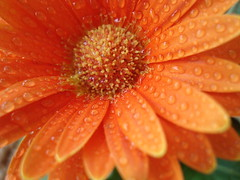 Drops (Stolen Star) Tags: orange flower nature water drops drop fiore petali arancione gocce giardinaggio stolenstar