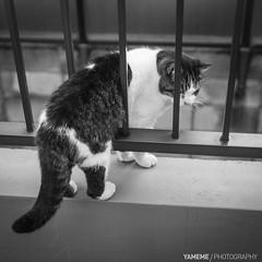 Stuck / Tokyo, Japan (yameme) Tags: travel pet monochrome animal japan cat canon eos tokyo jerry  shinagawa   meguro      nishikoyama streetsnap     5d3 5dmarkiii