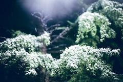 _MG_9918 (Nigel Cooper*) Tags: snow pinetree pine night korea snowing incheon canon5dmarkii